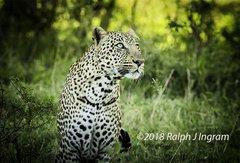 Leopard Looking Good