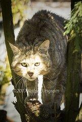 WildCat in Tree 3b
