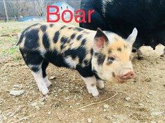 Idaho Pasture Pig Boar