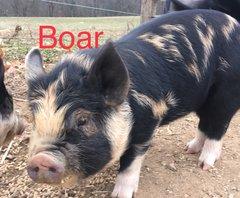 Idaho Pasture Pig~Boar