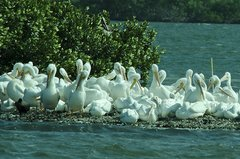 Pelicans at Ding