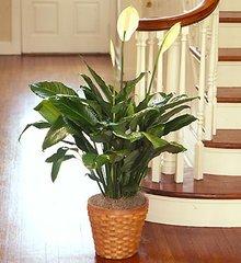 Spathiphyllum Plant- pla12