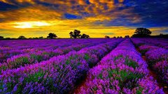 South African Lavender tin