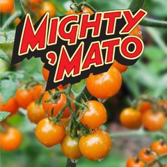 Grafted Sun Sugar Mighty Mato