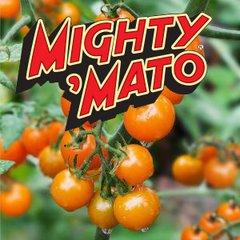 Grafted Sun Sugar Mighty Mato