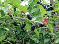 Mulberry, Dwarf Bush