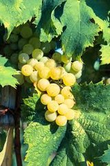 Grape, Golden Italian Muscat