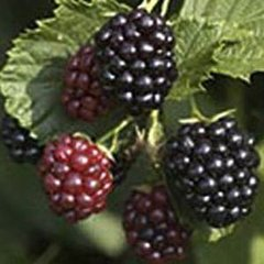 Blackberry Triple Crown