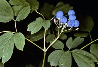 Where can i find blue cohosh
