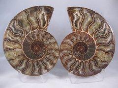 Split Ammonite Pair