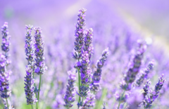 Lavender Oil Certified Organic