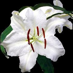 Casablanca Lily Fragrance Oil