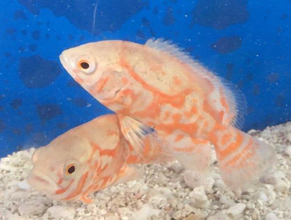 Red tiger albino oscar fish fishonlinerus for Aggressive fish for sale