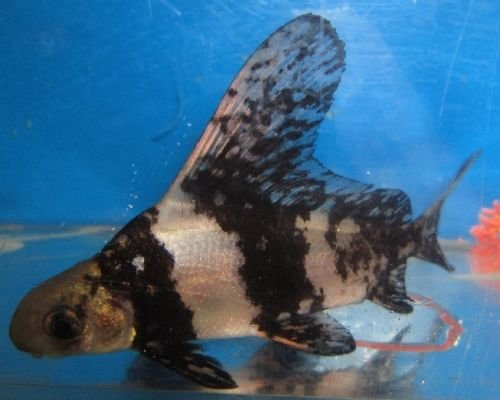 Zebra Knifefish Chinese Hi Fin Banded ...