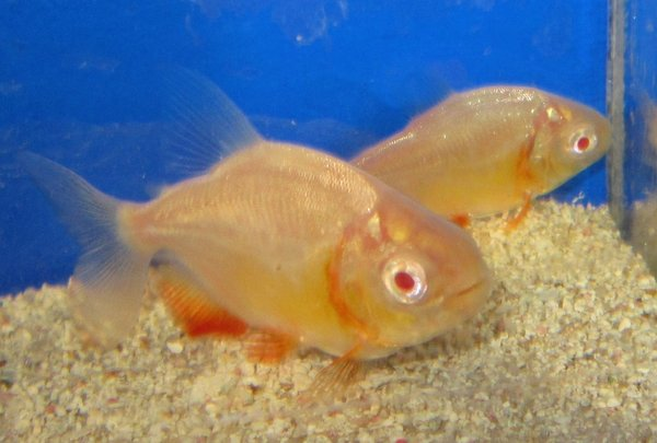 Stuart Hawkins besides CICHLIDS also Search moreover Cichlids Neotropical more also Blue Parrot. on oscar cichlid gold