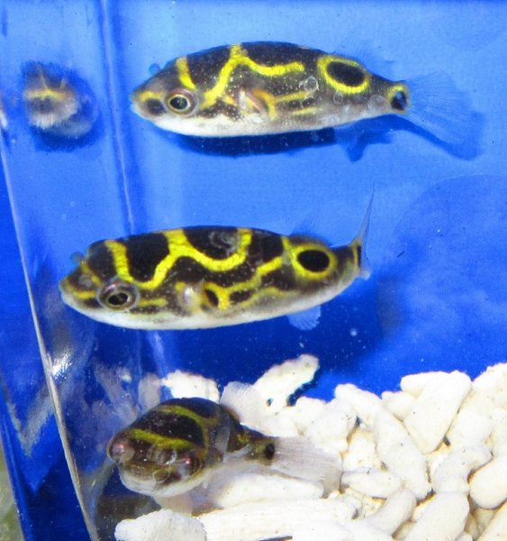 2 Figure 8 Puffer Fish Free Shipping Fishonlinerus