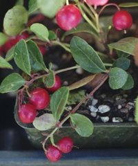 Winter Green (Gaultheria) Oil 35 Kgs