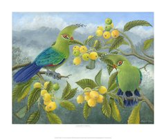 """Schalow's Turaco"""